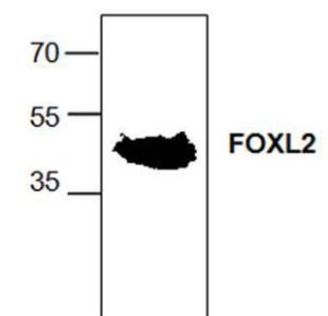 Western blot analysisof Fox L2 expression inrat kidney tissue lysate.