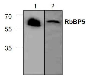 Western blot analysis ofRbBP5 in Jurkat cell lysate(Lane 1) and in 3T3 cell lysate(Lane 2).