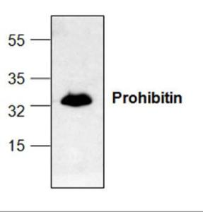Western blot analysis ofProhibitin expression withJurkat cell lysate.