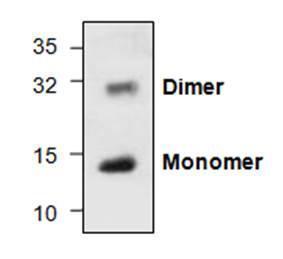 Western blot analysis usingrecombinant human BMP-13(Cat.# 4639-10). Both monomerand dimer can be detected.