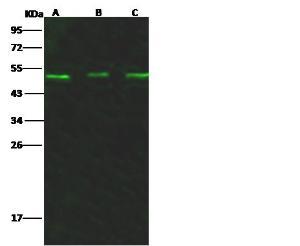 Anti-Bikunin Rabbit Polyclonal Antibody