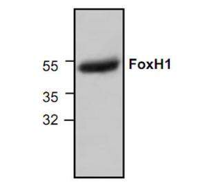 Western blot analysis ofFoxH1 expression in 3T3cell lysate.