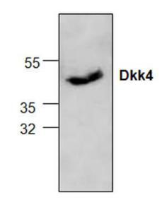 Western blot analysis ofDkk4 expression inJurkat cell lysate.