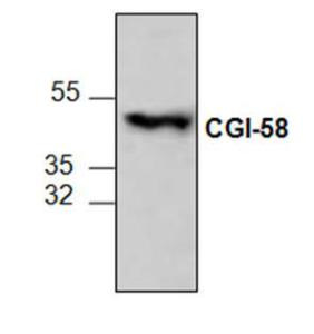 Western blot analysis ofCGI-58 expression in3T3 cell lysate.