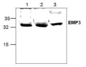 Western blot analysis ofEMP3 using Jurkat celllysate (Lane 1 & 2) and in3T3 cell lysate (Lane 2)