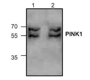 Western blot analysis ofPINK1 expression in Jurkatcell lysate (Lane 1 & 2).