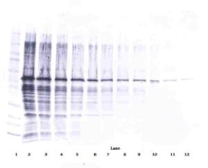 To detect Human Visfatin by Western Blot analysis this antibody can be used at a concentration of 0.1 - 0.2 ug/ml. Used in conjunction with compatible secondary reagents the detection limit for recombinant Human Visfatin is 1.5 - 3.0 ng/lane, under either reducing or non-reducing conditions.