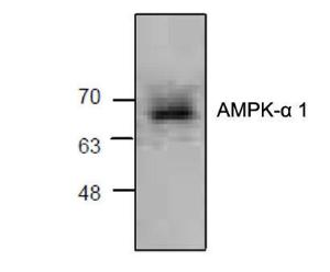 Western blot analysis of AMPKwith lysate from Jurkat cells.