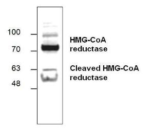 Western blotanalysis of HMG-CoA reductase withlysate from Hela cells.