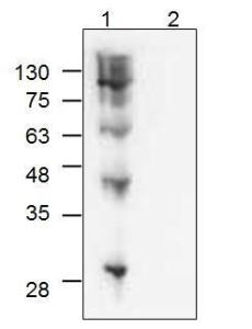Western blot analysis of Strep-Tag IIprotein ladder (Lane 1) and ApoE4control protein without Strep-Tag II(Lane 2) using anti-Strep-Tag IIantibody.