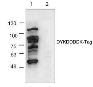Western blot analysis of myc/D- tagged proteinladder (Lane 1) and ApoE4 control protein withoutD-Tag (Lane 2) using anti-D-Tag antibody.