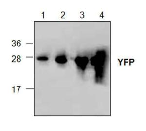 Western blot analysis withrecombinant YFP.Lane 1: 10 ngLane 2: 50 ngLane 3: 250 ngLane 4: 1 µg