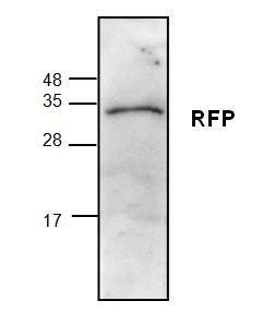Western blot analysis ofrecombinant proteindsRed (200 ng).