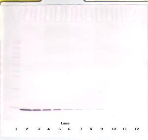 To detect rat IL-2 by Western Blot analysis this antibody can be used at a concentration of 0.25-0.50 ug/ml. When used in conjunction with compatible secondary reagents the detection limit for recombinant rat IL-2 is 2.0-4.0 ng/lane, under reducing or non-reducing conditions.