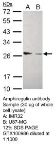 Anti-IgG Rabbit Polyclonal Antibody