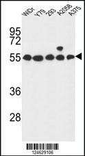 Anti-GPR180 Rabbit Polyclonal Antibody