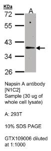 Anti-TSSK4 Rabbit Polyclonal Antibody
