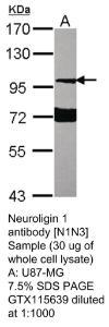 Anti-NLGN1 Rabbit Polyclonal Antibody