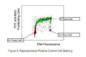 Measures cell proliferation and determines cell cycle position by flow cytometry. Using this BrdU is preferentially incorporated into newly replicated DNA. Following denaturation, samples are stained with FITC anti-BrdU antibody and total DNA is counterstained with a PI/RNase A solution.