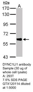 Anti-DYNC1LI1 Rabbit Polyclonal Antibody