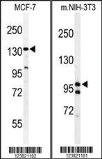 Anti-TAF2 Rabbit Polyclonal Antibody