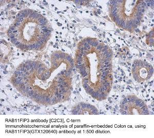 Anti-RAB11FIP3 Rabbit Polyclonal Antibody