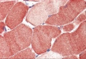 Immunohistochemistry staining of Arylsulfatase B in human skeletal muscle using Arylsulfatase B Antibody at 5 ug/mL.