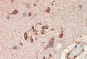 Immunohistochemistry (10ug/ml) staining of paraffin embedded Human Cerebral Cortex. Steamed antigen retrieval with citrate buffer pH 6, AP-staining.