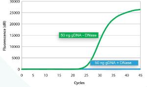 A PCR master mix containing 50 ng genomic DNA was prepared and divided into two reactions, of which one was treated with DNase, Double-Strand Specific, Heat-Labile prior to qPCR of both samples.  In contrast to the untreated sample, the DNase-treated sample contained no amplifiable genomic DNA.