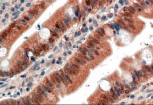 Immunocytochemistry of FGFR1 in paraffin embedded human small intestine using FGFR1 Antibody at 4 ug/mL.