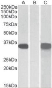 Anti-CRISP2 Goat Polyclonal Antibody