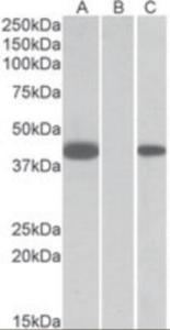 Anti-FANCF Goat Polyclonal Antibody