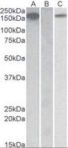 Anti-CSF1R Goat Polyclonal Antibody