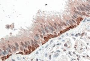Immunohistochemistry (5ug/ml) staining of paraffin embedded Human Bronchus. Steamed antigen retrieval with citrate buffer pH 6, AP-staining.