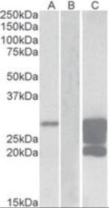 Anti-GM2A Goat Polyclonal Antibody