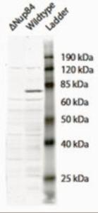 Western blot analysis of NUP84 in Saccharomyces cerevisiae S288c lysate (35 ug protein in RIPA buffer) using NUP84 Antibody at 2 ug/mL.