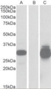 Anti-PPPDE1 Goat Polyclonal Antibody