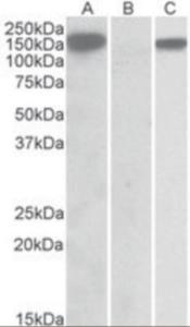 Anti-NLRP2 Goat Polyclonal Antibody