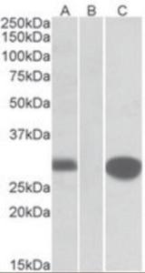 Anti-MID1IP1 Goat Polyclonal Antibody