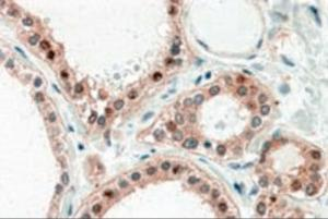 Immunohistochemistry (5ug/ml) staining of paraffin embedded Human Thyroid Gland. Steamed antigen retrieval with citrate buffer pH 6, AP-staining.