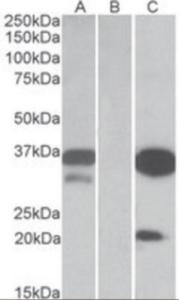 Anti-DAPP1 Goat Polyclonal Antibody