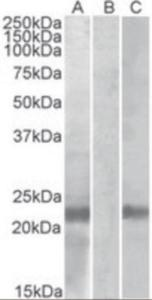 Anti-CST8 Goat Polyclonal Antibody