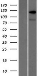 RANBP6 Lysate (Adult Normal), Novus Biologicals (NBP2-07448)