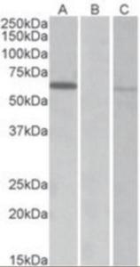 Anti-MKRN1 Goat Polyclonal Antibody