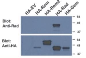 Western blot analysis of RRAD in HEK293 Lysate (35 ug protein in RIPA buffer) using RRAD antibody at 0.5 ug/mL.