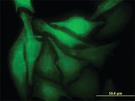 Anti-MAD2L1BP Mouse Monoclonal Antibody [clone: 4G11]