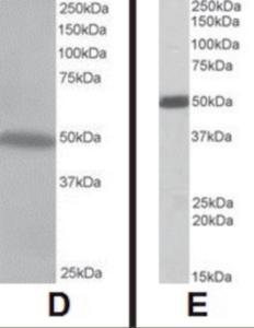 Anti-CSK Goat Polyclonal Antibody