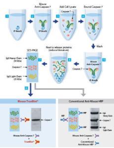TrueBlot® IP/Western Blot, Rockland Immunochemicals
