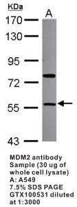 Anti-MDM2 Rabbit Polyclonal Antibody
