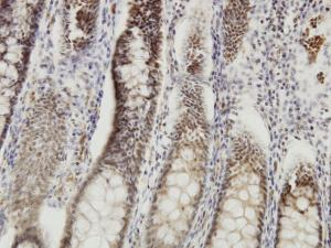 Anti-DMTF1 Mouse Monoclonal Antibody [clone: 5C6]